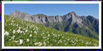 alpi apuane monte croce la fioritura delle giunchiglie, spettacolo!